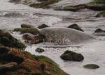 Turtle on Punalulu Black Sand Beach