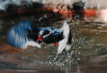 Peruvian Inca Tern