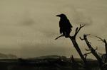 Raven Guarding the Grand Canyon