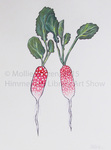 Radishes by Mollie Kotzen