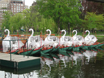 A Flock of Swans, Public Garden, Boston