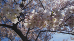 Spring Blossoms by Natasha Bandopadhay