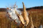 Common Milkweed, Shenandoah National Park by Ruth Bueter