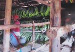 Because Making Cuban Cigars is a Process, Viñales Tobacco Farm