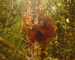 Orangutan Mother and Child by Frederick Jacobsen