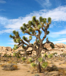 Joshua Tree National Park by Ruth Bueter